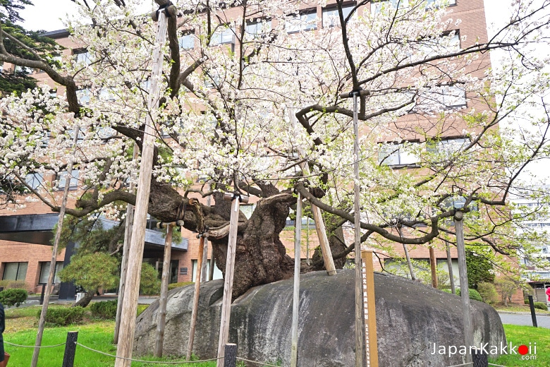 Rock-breaking Cherry Tree / Ishiwarizakura (石割桜)