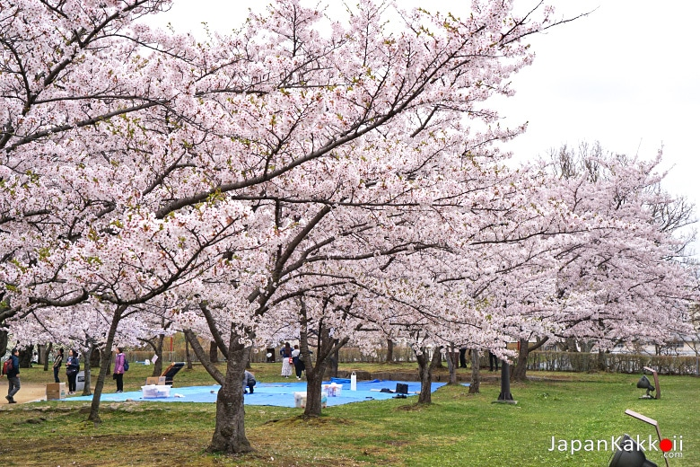 ซากุระสวนปราสาทโมริโอกะ