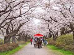 ซากุระสวนคิตะคามิ เทนโชจิ (Kitakami Tenshochi / 北上展勝地)