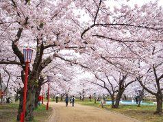 เที่ยวโมริโอกะ (Morioka) ชมซากุระบาน