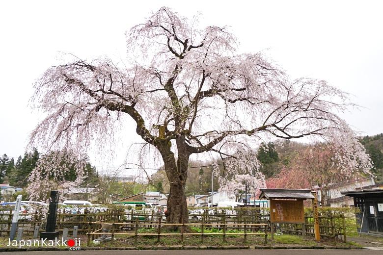 Kakunodate Shidarezakura (角館のシダレザクラ)