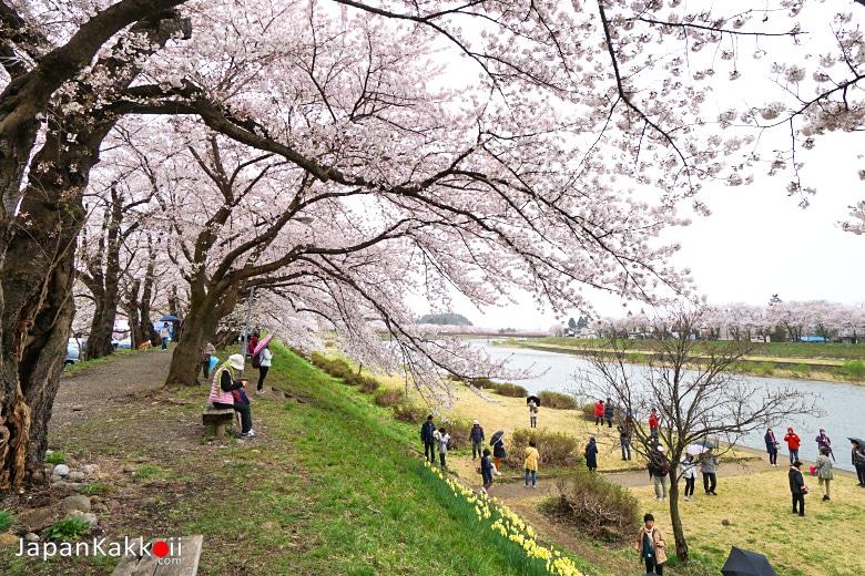 ซากุระริมแม่น้ำฮิโนะคิไน (Hinokinai River)