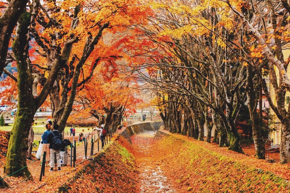 โมมิจิไคโร (Lake Kawaguchi Maple Corridor, Momiji Kairo)