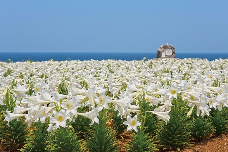 Iejima Lily Festival